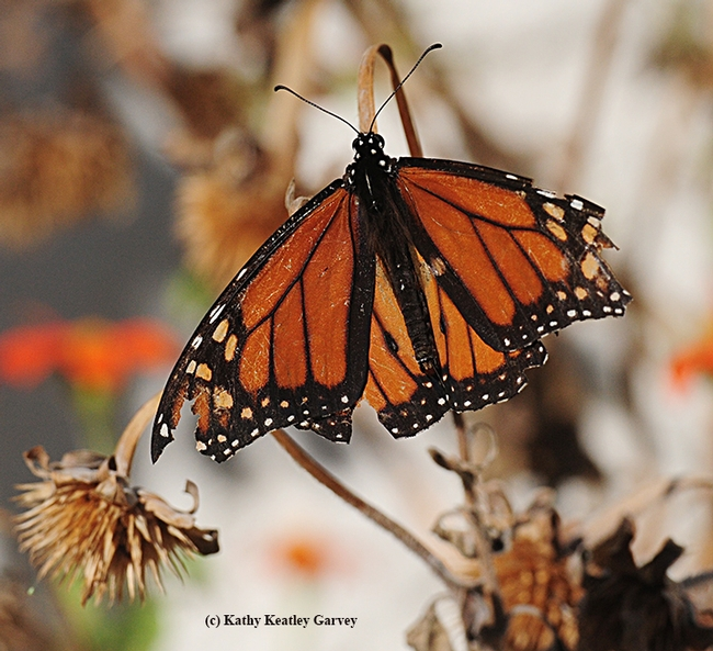 Wings are shredded and scales slashed, but this male monarch still flies. Here it pauses to soak up some sunshine. (Photo by Kathy Keatley Garvey)