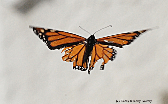 A migratory monarch, after sipping some flight fuel in Vacaville, Calif. takes off
