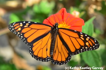 A male monarch butterfly in Vacaville, Calif. (Photo by Kathy Keatley Garvey)
