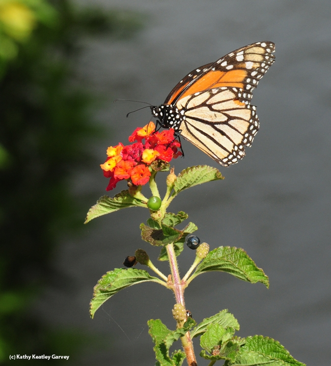 A monarch nectaring on Lantana on Oct. 23 in Vacaville, Calif. (Photo by Kathy Keatley Garvey)