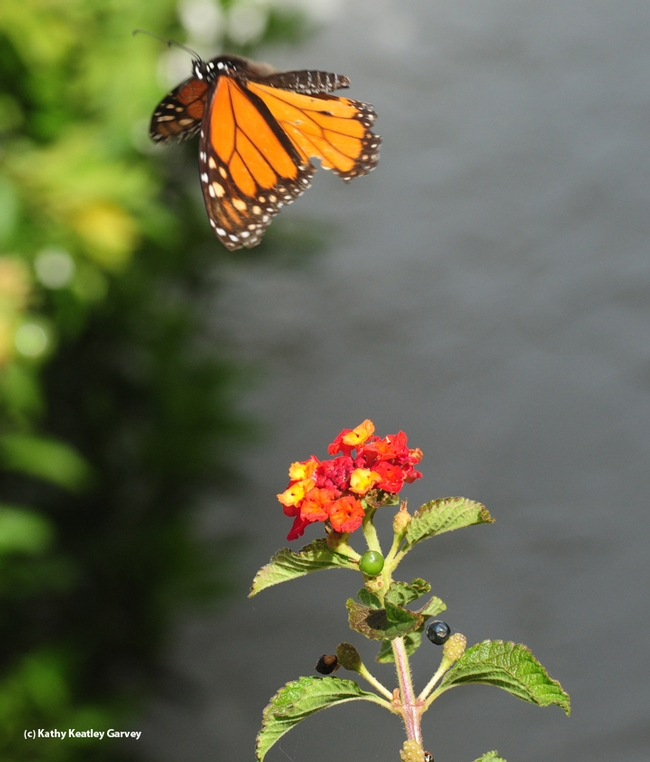 The same monarch taking flight again over Lantana on Oct. 23 in Vacaville, Calif. (Photo by Kathy Keatley Garvey)