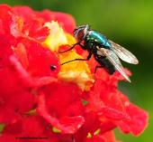 A green bottle fly nectaring on Lantana. (Photo by Kathy Keatley Garvey)