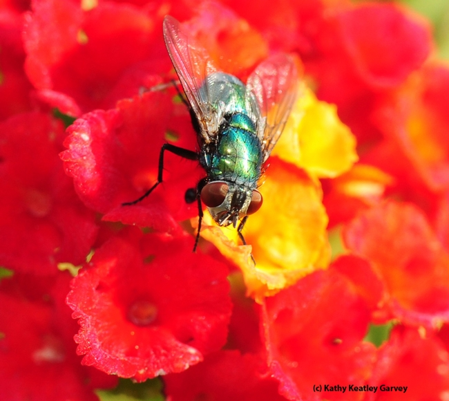 Eye to eye with a green bottle fly. (Photo by Kathy Keatley Garvey)