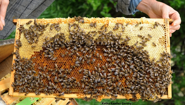 Before it's jarred, honey looks like this! The honey is at the top of this frame. (Photo by Kathy Keatley Garvey)