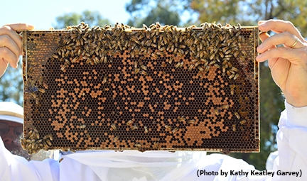 A UC Davis beekeeping student holds a frame. (Photo by Kathy Keatley Garvey)
