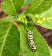 A November monarch caterpillar found on tropical milkweed in Vacaville, Calif. (Photo by Kathy Keatley Garvey)