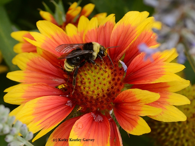 This is a native bumble bee, Bombus californicus, on blanketflower (Gaillardia). (Photo by Kathy Keatley Garvey)
