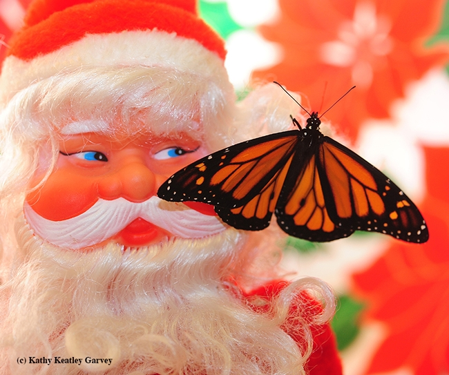 Santa appears to be looking at the newly eclosed male monarch. (Photo by Kathy Keatley Garvey)