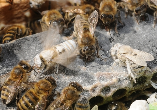 WORKER BEES remove powdered sugar from their sisters. (Photo by Kathy Keatley Garvey)