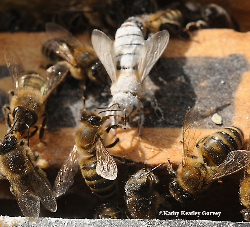 SUGAR-COVERED honey bee is groomed by her sister. Some beekeepers use a
