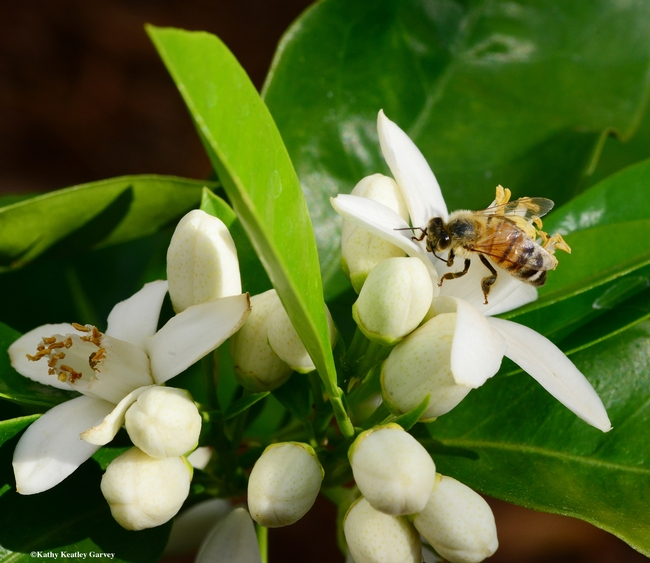 A honey bee pollinating an orange blossom. Orange blossom honey will be among the varietals featured at the