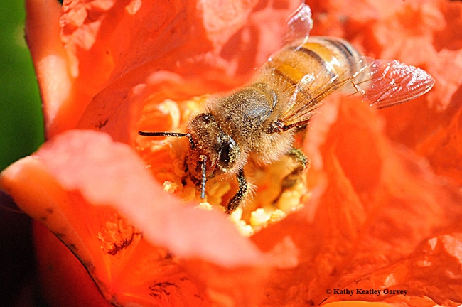 A honey bee pollinating a pomegranate blossom. (Photo by Kathy Keatley Garvey)