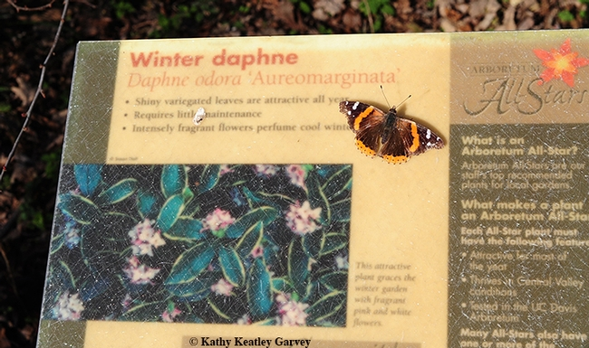 Red Admiral, Vanessa atalanta, basking on a daphne sign in the Storer Garden, UC Davis Arboretum and Public Gardens, on Jan. 28. (Photo by Kathy Keatley Garvey)