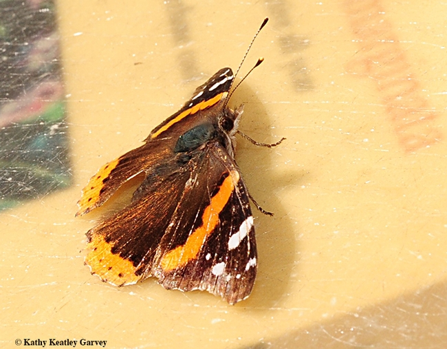 Side view of the Red Admiral. Shortly after this photo was taken, it fluttered away. (Photo by Kathy Keatley Garvey)