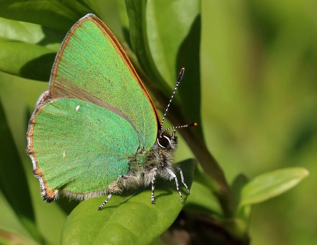 This is a European green hairstreak (Callophrys rubi). Charles J. Sharp of Sharp Photography, UK, captured this image in Aston Upthorpe, Oxfordshire. (Photo courtesy of Wikipedia)
