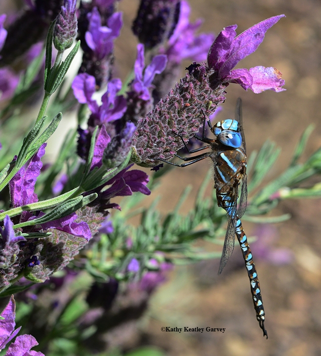 A Rhionaeschna multicolor blue-eyed darner, Aeshna multicolor, soaking up sun on a Spanish lavender in Vacaville, Calif. (Photo by Kathy Keatley Garvey)