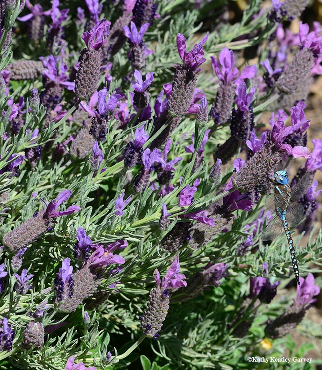 Find the blue-eyed darner in the Spanish lavender! (Photo by Kathy Keatley Garvey)