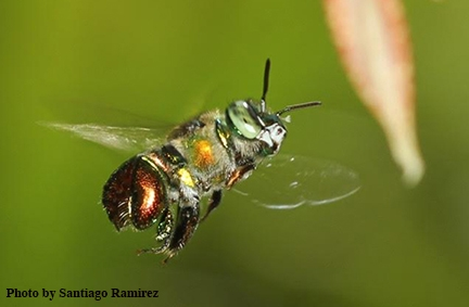 An orchid bee heading for an orchid. (Photo by Santiago Ramirez)