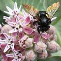 Iridescent wings of a female Valley carpenter bee, Xylocopa varipuncta. The bee is nectaring on showy milkweed, Asclepias speciosa, but she's the one putting on a show. (Photo by Kathy Keatley Garvey)