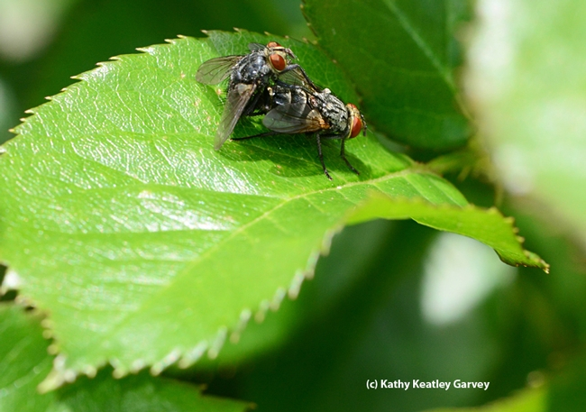 Time for a June wedding--an insect wedding photo. These are tachinid flies on a rose leaf. (Photo by Kathy Keatley Garvey)