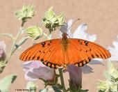 A Gulf Fritillary, Argraulis vanillae, on pink mallow in Vacaville, Calif. Note its jagged wings: mark of a predator. (Photo by Kathy Keatley Garvey)