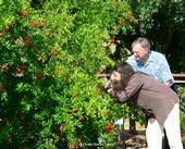Entomologist May Berenbaum  photographs a bee on a pomegranate tree at the UC Davis bee garden, the Häagen-Dazs Honey Bee Haven, during her May 2014 visit to the campus. With her is Extension apiculturist Eric Mussen, now retired. (Photo by Kathy Keatley Garvey)