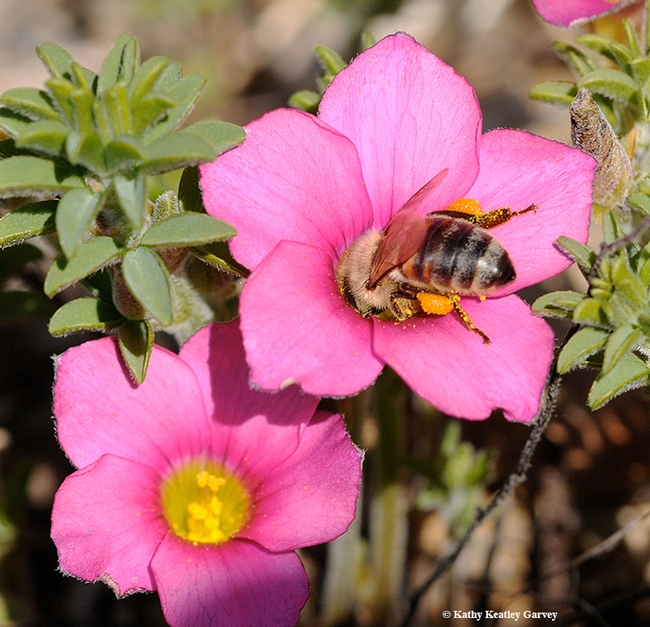 A honey bee burrows in a pink oxalis. (Photo by Kathy Keatley Garvey)