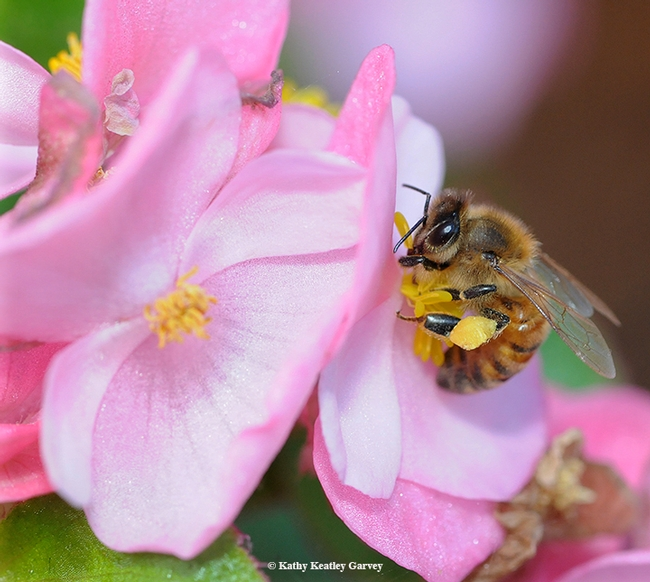 A young honey bee takes a liking to a pink begonia. (Photo by Kathy Keatley Garvey)