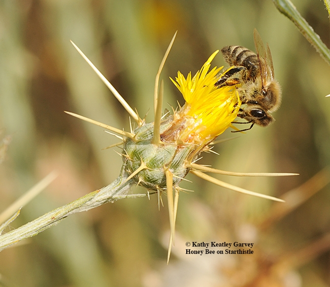 A honey bee foraging on star thistle, Centaurea solstitialis. It's an invasive weed but makes great honey, beekeepers and honey connoisseurs say. (Photo by Kathy Keatley Garvey)