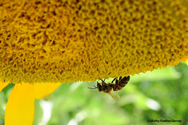 A honey bee forages on a sunflower just outside the Insect Pavilion. (Photo by Kathy Keatley Garvey)
