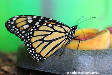 A monarch sips juice from a peach in the Insect Pavilion. (Photo by Kathy Keatley Garvey)