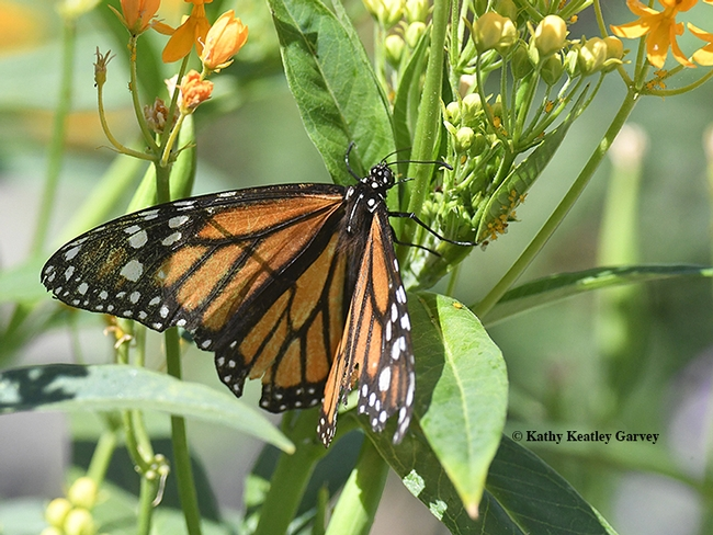 The female monarch spreads its wings. She ended up laying eggs on the tropical milkweed and showy milkweed. Note how tattered she is--the predators missed!(Photo by Kathy Keatley Garvey)