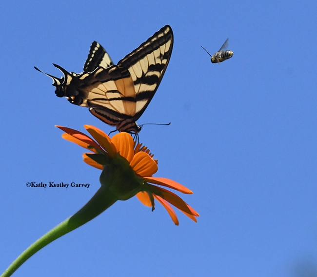 A male longhorn bee, probably a Melisoddes agilis, targets a Western tiger swallowtail nectaring on Tithonia in Vacavile, Calif. (Photo by Kathy Keatley Garvey)