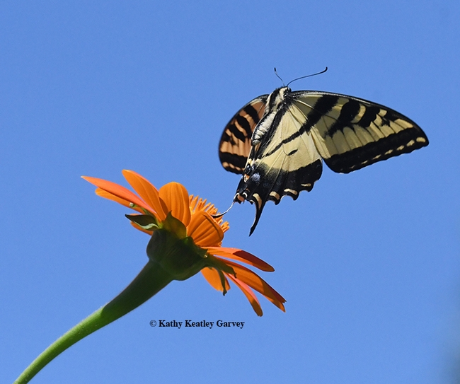 Butterfly ballet--The startled Western tiger swallowtail takes flight. (Photo by Kathy Keatley Garvey)