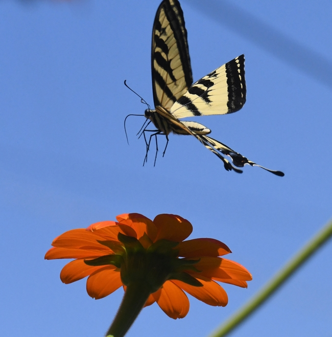 Western tiger swallowtail, interrupted by a male territorial longhorn bee, decides the Mexican sunflower is not