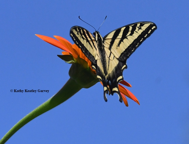 Persistent Western tiger swallowtail selects another blossom. (Photo by Kathy Keatley Garvey)