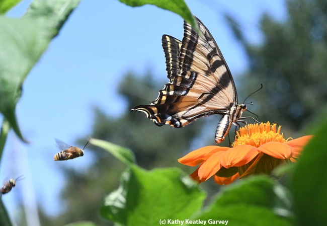 Territorial male longhorn bees are targeting a Western tiger swallowtail as it's trying to sip some nectar from a Mexican sunflower (Tithonia). (Photo by Kathy Keatley Garvey)