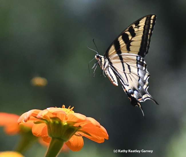 This Western tiger swallowtail, targeted by male longhorn bees, takes flight. (Photo by Kathy Keatley Garvey)