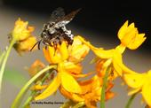 A cuckoo bee, Xeromelecta californica, sips nectar from a tropical milkweed, Asclepias curassavica, in Vacaville, Calif.  (Photo by Kathy Keatley Garvey)