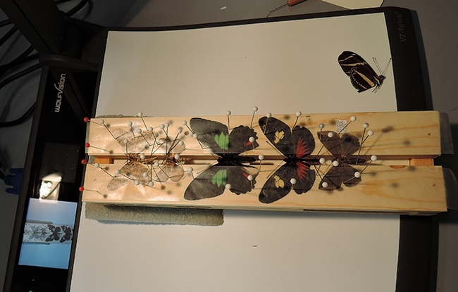 Pinning and spreading moths and butterflies is intricate work. (Photo by Kathy Keatley Garvey)