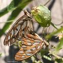 Insect wedding photography on the passion flower vine: male and female Gulf Fritillaries, Agraulis vanillae. (Photo by Kathy Keatley Garvey)