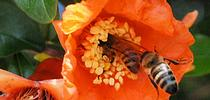 Two honey bees want the same pomegranate blossom. (Photo by Kathy Keatley Garvey) for Bug Squad Blog