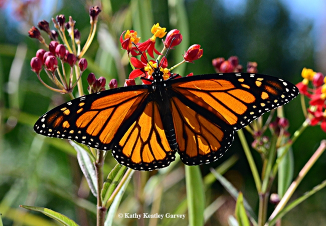 A male monarch spreads its wings on a tropical milkweed. (Photo by Kathy Keatley Garvey)