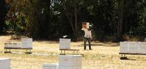 Home is where the bees are. A beekeeper at the Harry H. Laidlaw Jr. Honey Bee Facility, UC Davis. (Photo by Kathy Keatley Garvey) for Bug Squad Blog