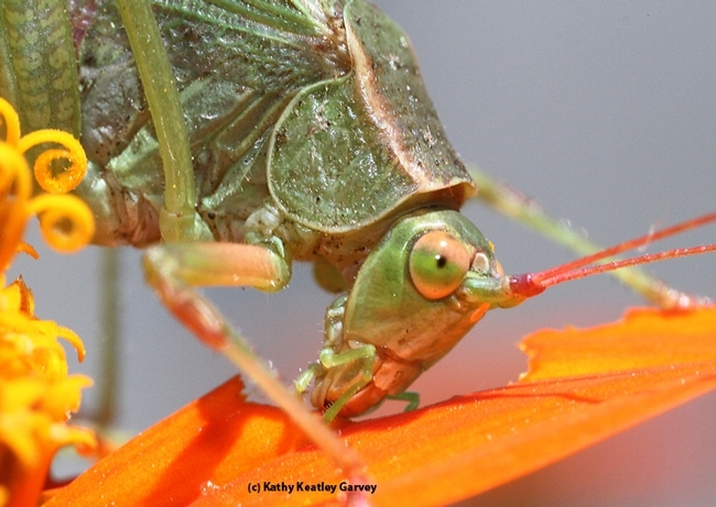 Close-up of a fork-tailed katydid. (Photo by Kathy Keatley Garvey)