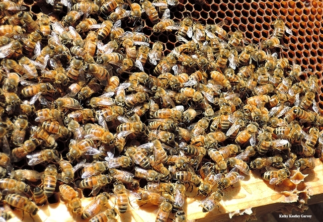 Like to learn more about honey bees? UC Davis is offering beekeeping courses beginning March 24. (Photo by Kathy Keatley Garvey)