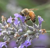 Peek-a-bee! Hi, it's just me, a honey bee foraging on lavender in mid-December in Vacaville, Calif. (Photo by Kathy Keatley Garvey)