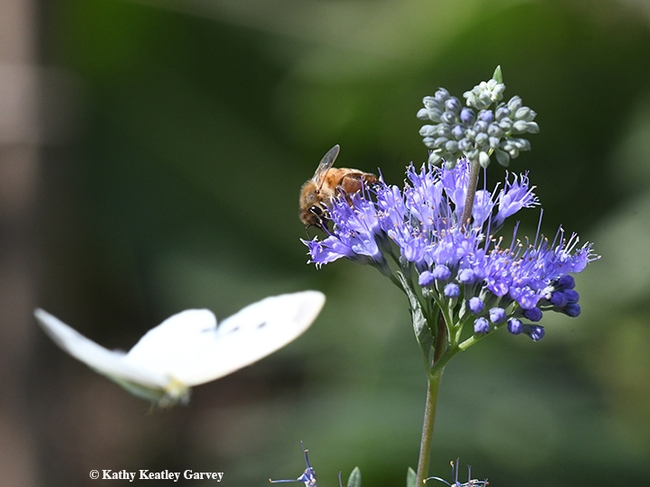 A cabbage white butterfly photobombs a honey bee on a bluebeard (Caryopteris x clandonensis). This image was taken in Vacaville, Calif. (Photo by Kathy Keatley Garvey)