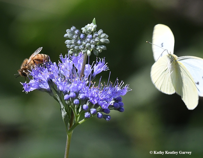 Joy, oh, joy, another  photobomb opportunity! The cabbage white circles the honey bee nectaring on bluebeard (Caryopteris x clandonensis). (Photo by Kathy Keatley Garvey)