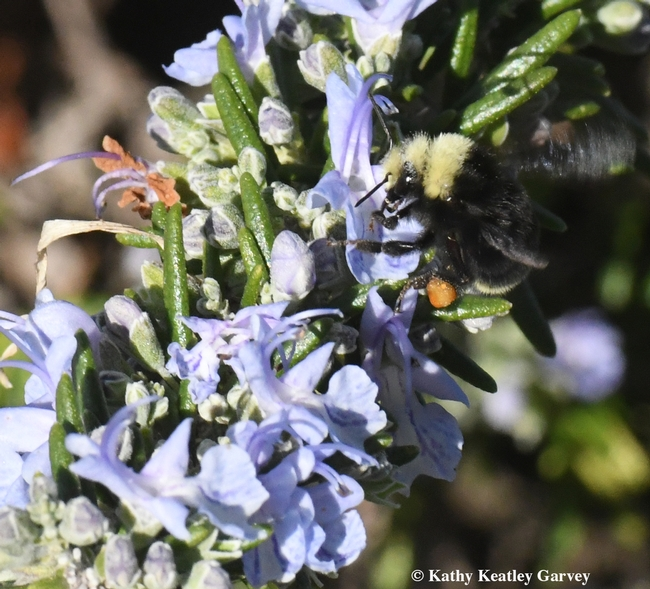 A yellow-faced bumble bees, Bombus vosnesenskii, nectaring on rosemary at the Benicia Marina on New Year's Day, 2018. Note the orange pollen, derived from another floral species, probably California golden poppies. (Photo by Kathy Keatley Garvey)
